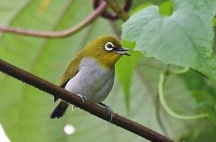 Download Mp3 Suara Kicau Burung Pleci Gacor