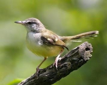 Download Mp3 Suara Kicau Burung Prenjak Gacor