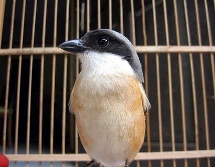 Download Mp3 Suara Kicau Burung Cendet Coklat Gacor