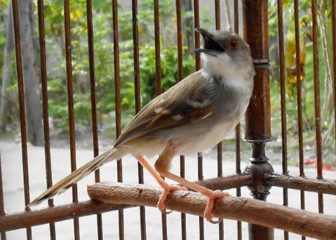Download Mp3 Suara Kicau Burung Ciblek Gacor