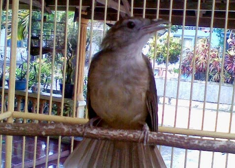 Download Mp3 Suara Kicau Burung Kapas Tembak