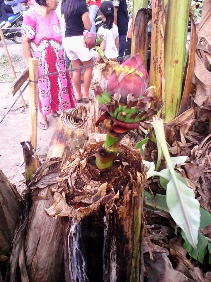 Heboh Pohon Pisang Berbuah Setelah di Tebang di Medan